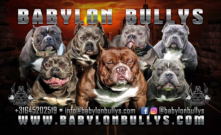 Babylon Bullys | American Bully Kennel in the Netherlands